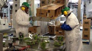 Des travailleurs étrangers temporaires dans une usine d'alimentation québécoise. Photo Ginette Lamarche, ICI Radio-Canada